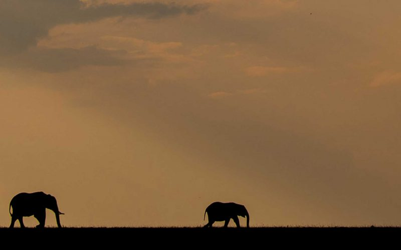 silhouettes of elephants by william fortescue