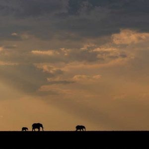 elephant silhouettes by william fortescue