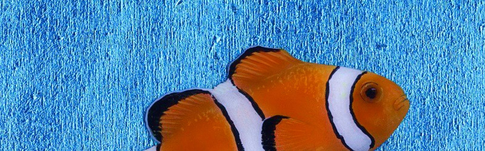 nick oneill painting of a clown fish