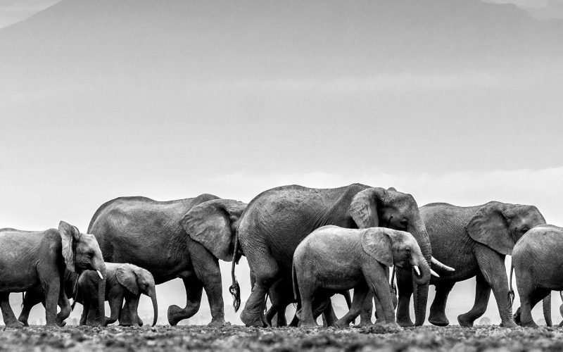 william fortescue photograph of african elephants