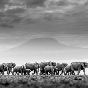 william fortescue photography of elephants