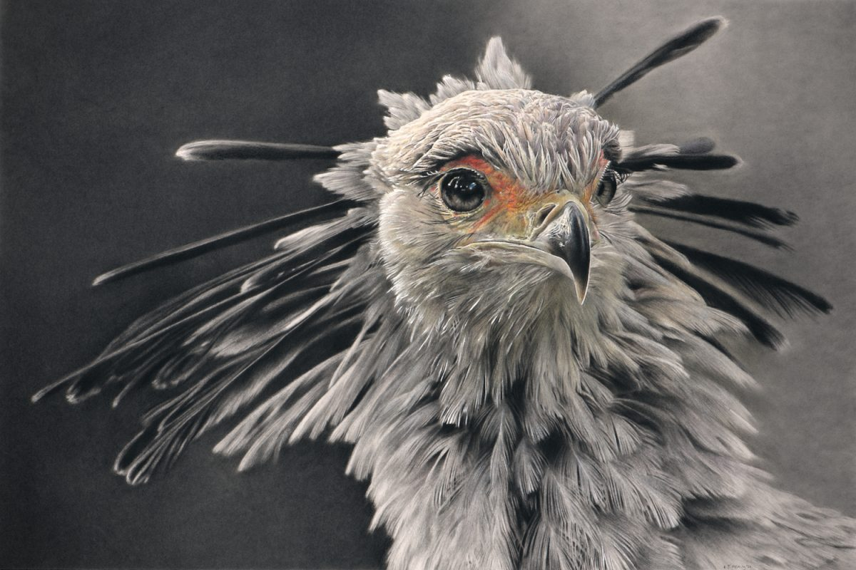 Secretary Bird pencil on cotton paper with charcoal