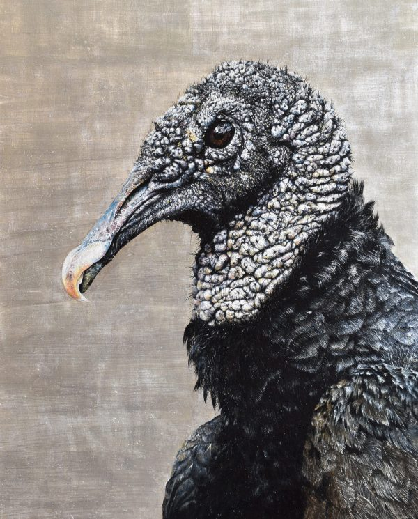 american Black Vulture by Andrew Pledge