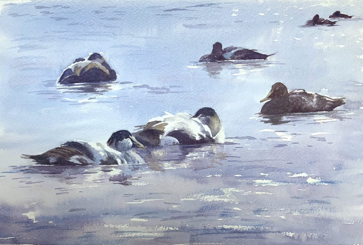 Painting of eiders by Emma Price