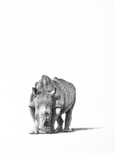 A pencil drawing of a rhino with oxpeckers