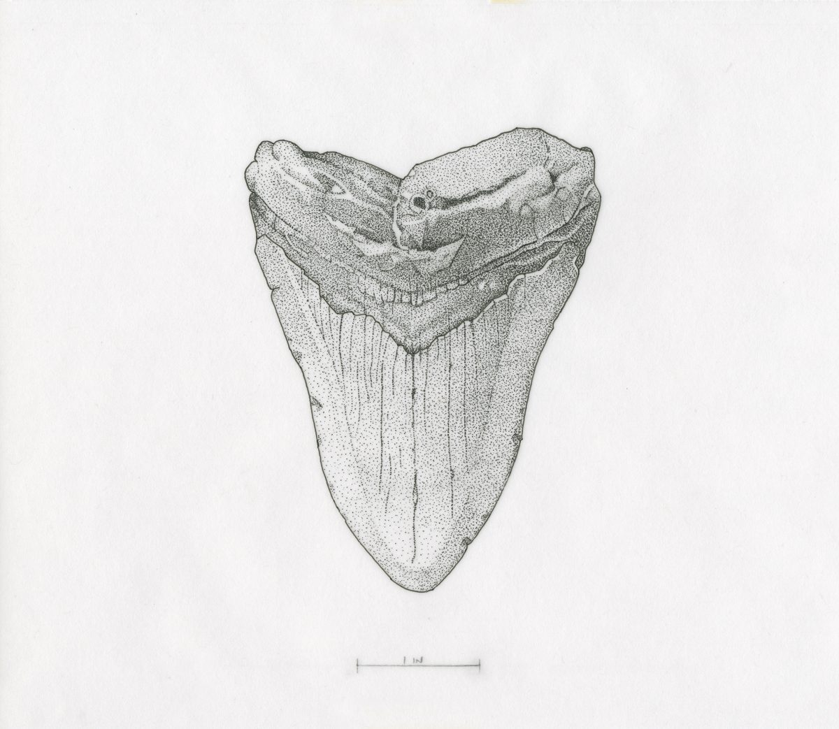 Artwork by Kirk Zimmerman titled Megalodon Tooth