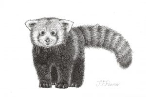A postcard size drawing of a red panda