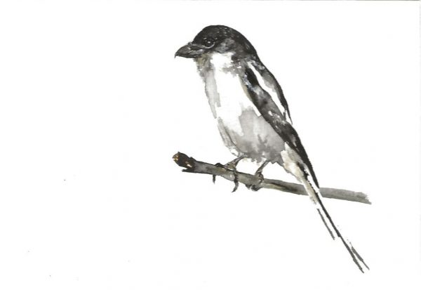A postcard size painting of a Fiscal Shrike