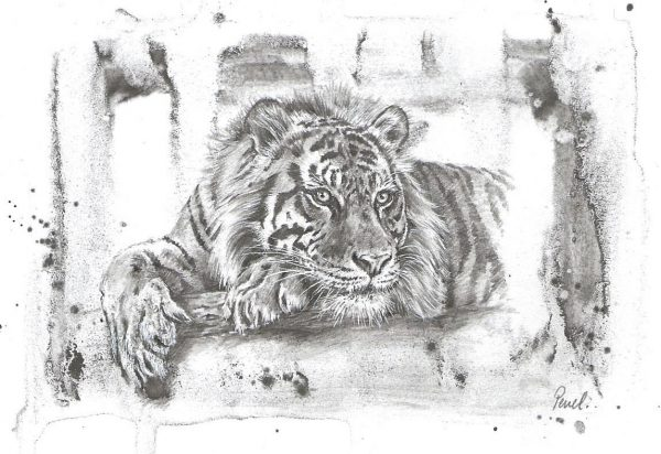 A postcard size pencil drawing of a tiger
