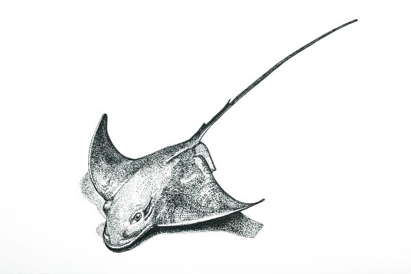 A postcard size pencil drawing of a stingray