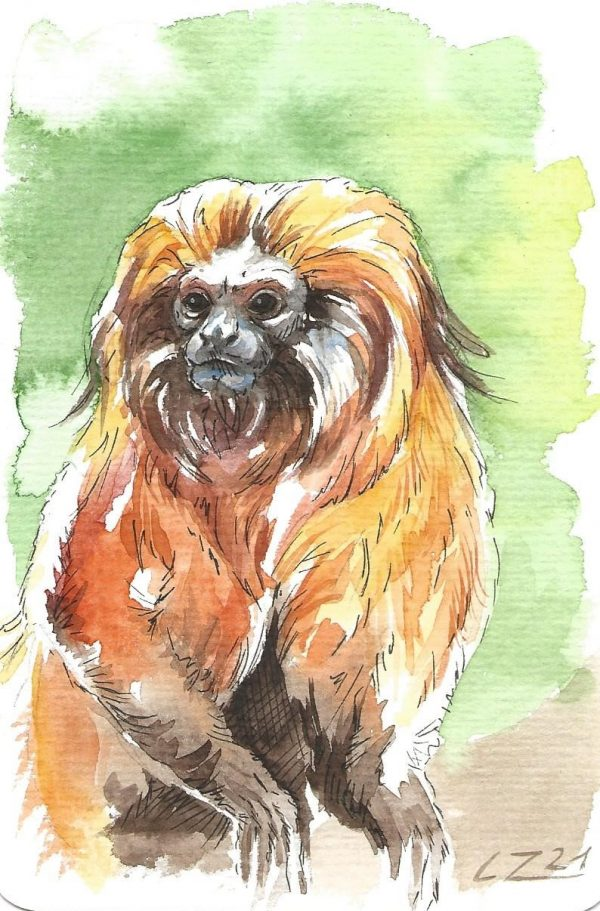 A postcard size watercolour painting of a Golden Lion Tamarin