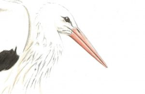 A postcard size drawing of a stork