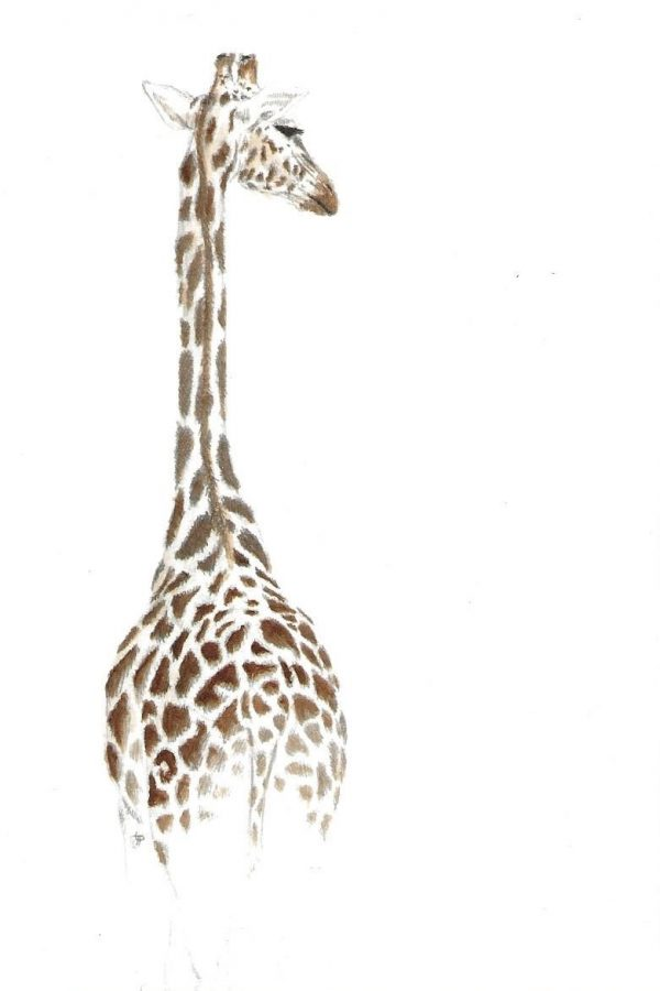 A postcard size drawing of a giraffe in colour pencils