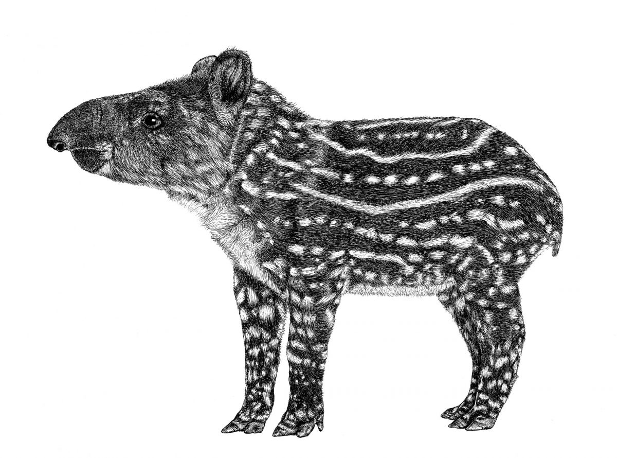 A pen on paper artwork of a tapir by Wild Lines