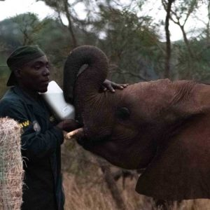 elephant orphan feeding from a bottle held by their keeper